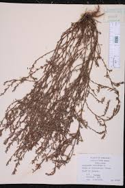 native plants of arkansas polygonum aviculare species page isb atlas of florida plants