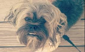 affenpinscher with underbite 10 things to know before a lhasa apso adopts you barkpost