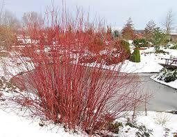 red twig dogwood monrovia red twig dogwood