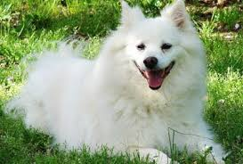 types of american eskimo dogs american eskimo dog top dogs and puppies