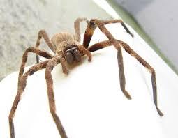 huntsman spider wikipedia