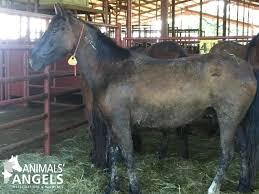 mustang adoption burro adoption event knoxville livestock auction tn