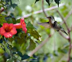 hummingbird flowers hummingbird flower garden all the resources to succeed