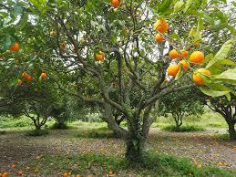 orange grove free pictures on pixabay