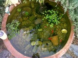 this is my pond we have five goldfish lucky finny fatty