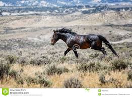 mustang horse running sand wash basin wild horse running stock photo image 49524092