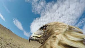 gopro hunting a fox from an eagle u0027s pov youtube