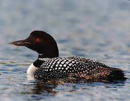 common loon and the minnesota state bird i sure do miss