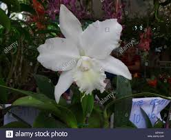 quezon city philippines 2 september 2014 white cattleya being