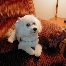 bichon frise therapy dog 191 best images about bichon frise on pinterest poodles puppys