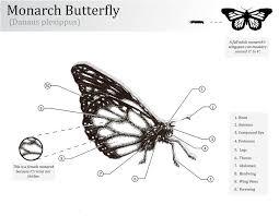 monarch butterfly profile drawings monarch butterfly