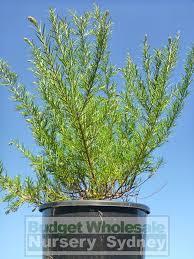 australian native plant nursery sydney grevillea scarlet sprite 200mm pot premium plants australian