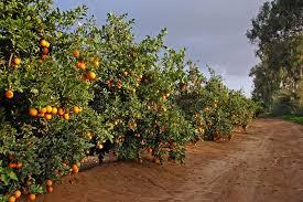 road with many orange trees stock image image 8149661