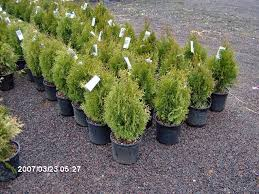 green arborvitae fast growing screening trees call 215