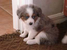 mini australian shepherd 8 weeks 71 most cute australian shepherd puppies pictures and photos