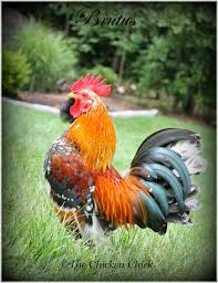 backyard chicken blogs the chicken answers from the chicken vet on bacterial