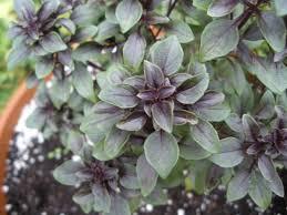 7 herbs i plant in my ornamental gardens herb garden gal