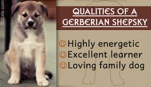 characteristics of a australian shepherd information about the very adorable german shepherd siberian husky mix