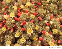 flowers and fruits background of cactus flowers and fruits stock picture i1503583 at