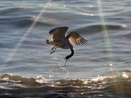 il gabbiano napoli il gabbiano pesca un ratto nel mare inquinato di san