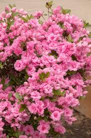 Azalea Topiary Rosebud Azalea Monrovia Rosebud Azalea