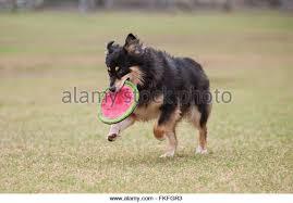 australian shepherd frisbee dog and frisbee stock photos u0026 dog and frisbee stock images alamy