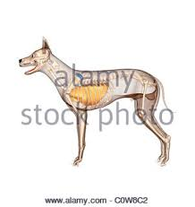 Dog Anatomy Heart Dog Anatomy Respiratory Lungs Stock Photo Royalty Free Image