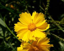 free images flower petal floral golden fresh