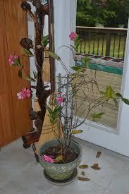 mandevilla plant care u2013 how to overwinter mandevilla plants