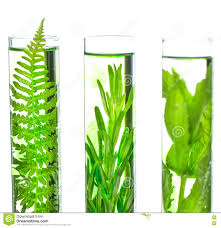 Fern Decor by Laboratory Fern Lavender Rosemary And Mint In Test Tubes Stock