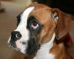 boxer dog health questions what is a good age to have a male boxer dog neutered