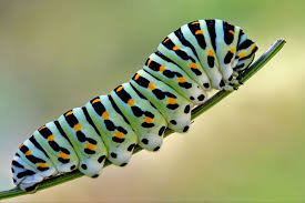 the butterfly lifecycle why do caterpillars whistle terminix
