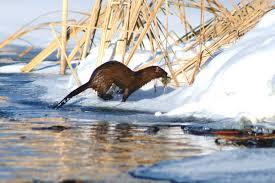 Minnesota wild animals images Minnesota mink by shutterbug32 photo weather underground jpg