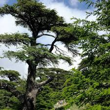 Lebanon Flag Tree Cedars Of Lebanon The Cedars Of God Amusing Planet