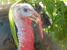 best place to buy turkey for thanksgiving turkeys stehly farms organics