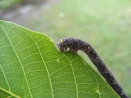 The Inchworm File Inchworm Eating A Leaf Jpg Wikimedia Commons