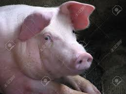 pig stock photo picture and royalty free image image 3320576