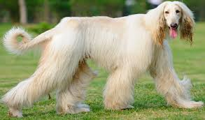 afghan hound vetstreet 6 resources on grooming intensive dog breeds u2013 top dog tips