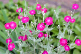 Flowers Information - rose campion information u2013 tips for growing rose campions