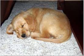Comfort Retrievers For Adoption Breed History Comfort Retriever Miniature Golden Retriever