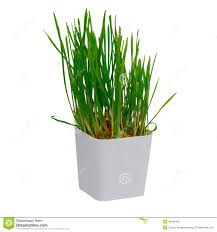 rice sprout growing in small plastic pot white stock