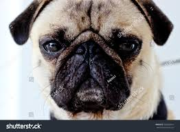 pug dog face stock photo 582293914 shutterstock