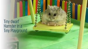 tiny dwarf hamster in a tiny playground youtube