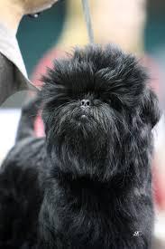 affenpinscher missouri xela show dogs affenpinschers and english toy spaniels alex romero