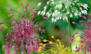 ornamental bulbs that are enough to eat and style