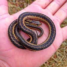 Snake Holes In Backyard How To Get Rid Of Garter Snakes