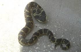 Found A Snake In My Backyard Common And Venomous Snakes Of Illinois