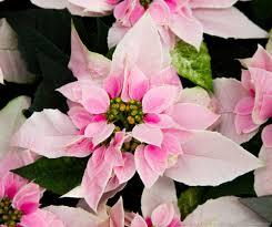 poinsettias 2015 u2013 part 4 beautiful flower pictures blog