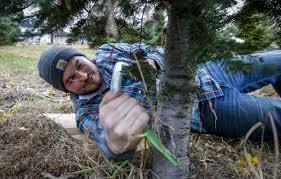 christmas tree farmers ready for rush local news qctimes com