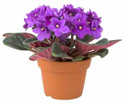 Low Light Indoor Plants by Best House Plants With Purple Flowers Low Light House Plants